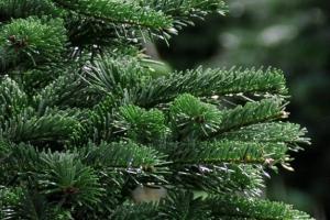 natuurlijke-kerstbomen